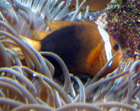 Amphiprion malanopus