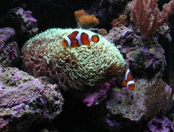 amphiprion occelaris